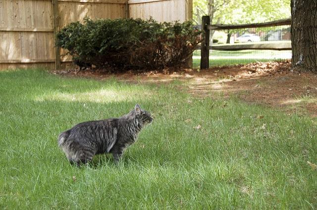 gato de manx